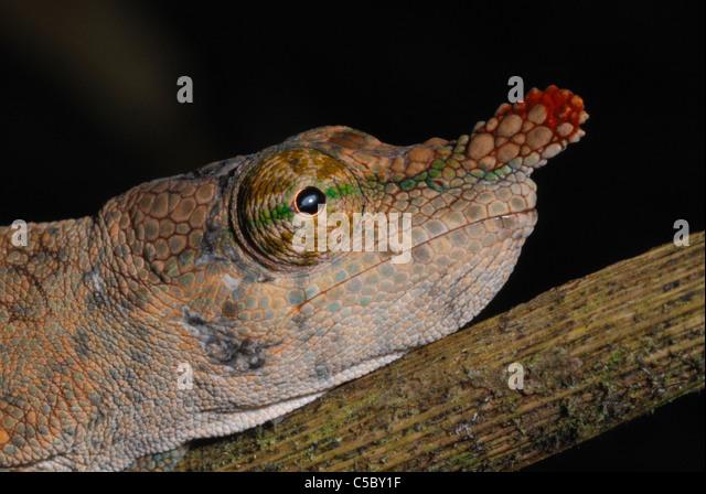 Female Long-nosed Chameleon (Calumma gallus) in  eastern Madagascar. August 2010. - Stock-Bilder