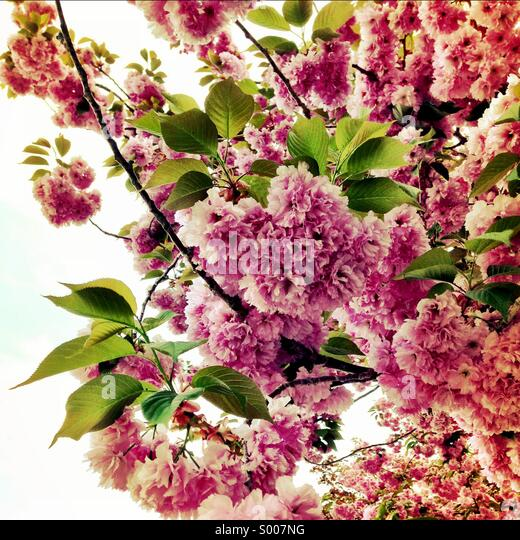 Flowering tree - Stock Image
