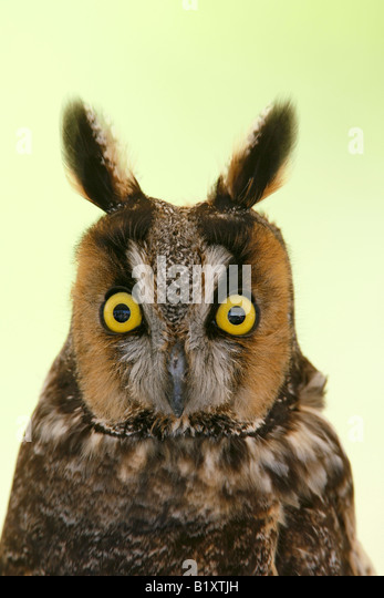 Long Eared Owl Captive Vertical - Stock-Bilder