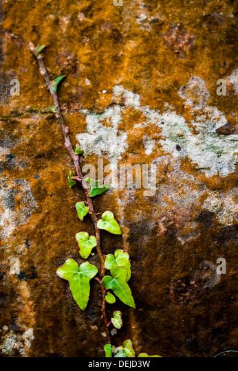 Ivy growing on a wall in Devon UK - Stock-Bilder