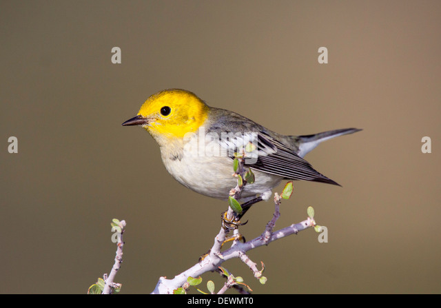 Hermit Warbler Dendroica occidentalis Oracle, Santa Catalina Mountains, Arizona, United States 10 September First - Stock Image