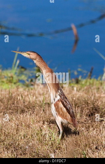 Little bittern (Ixobrychus minutus), Intaka Island wetland centre, Century City, Cape Town, South Africa, Africa - Stock Image