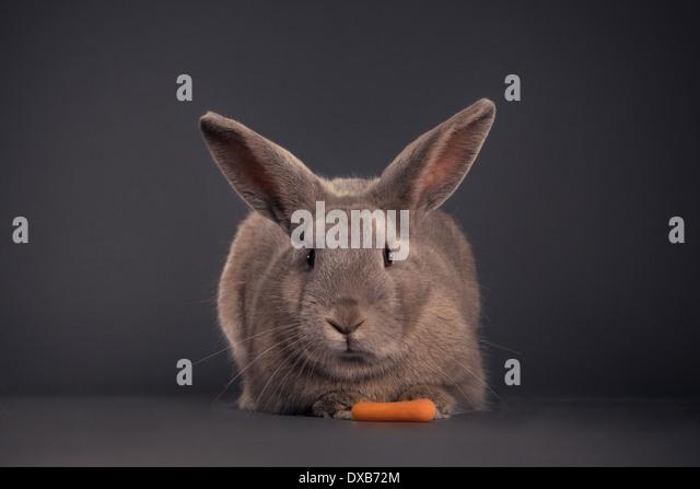 Rabbit facing camera with carrot. - Stock Image