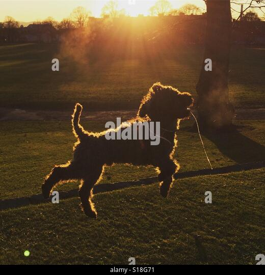 Cockapoo jumping in the air at sunset in a park - Stock-Bilder