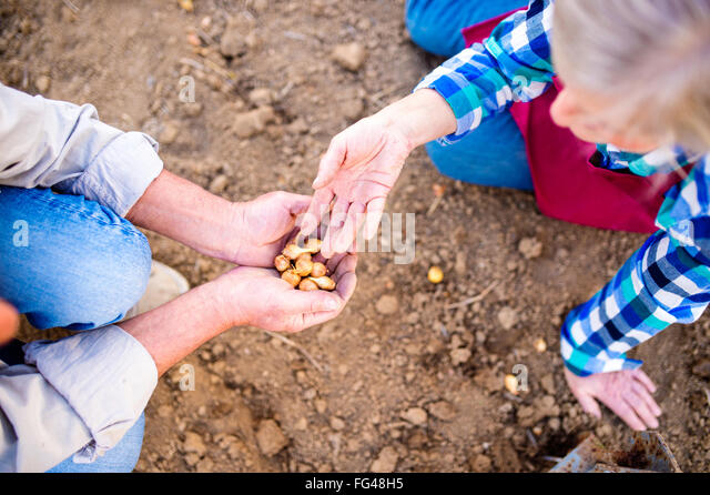 Close up, unrecognizable senior couple planting onions in row - Stock Image