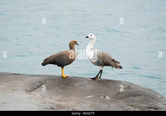 A pair of Upland Goose (Chloephaga picta) at Lake Pehoé, Torres del Paine, Chile - Stock Image