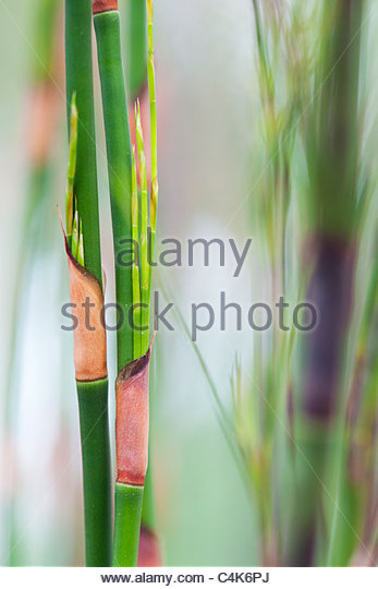 Ischyrolepis Subverticillata. Broom Restio reeds. Cape reed family - Stock Image