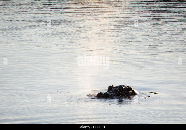 Hippo in a pond - Stock-Bilder