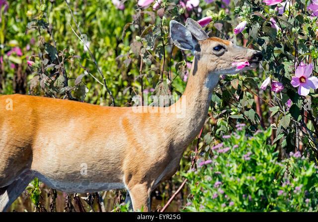 White-tailed Deer in the Marsh eating Flowers - Stock Image