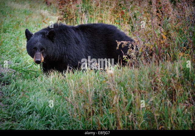 USA, Wyoming, Yellowstone National Park, Portrait of Black Bear - Stock Image