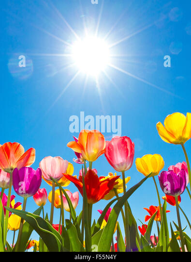 Colorful tulips in the sun - Stock-Bilder