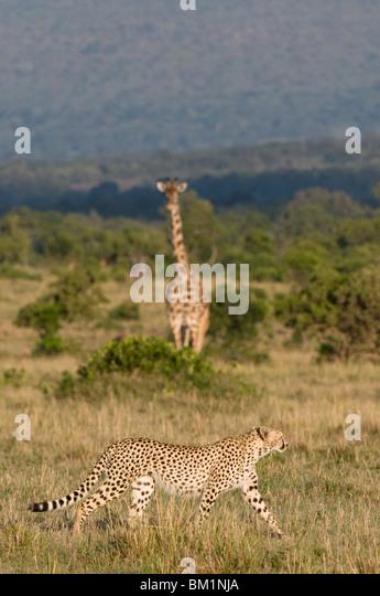 Cheetah (Acinonyx jubatus) and Masai giraffe (Giraffe camelopardalis), Masai Mara National Reserve, Kenya, East - Stock Image
