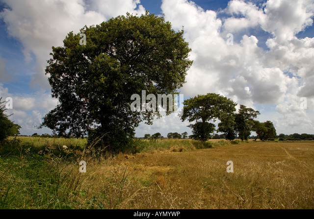 Oak Trees in Farmland Southrepps Norfolk 1 of 12 August - Stock Image
