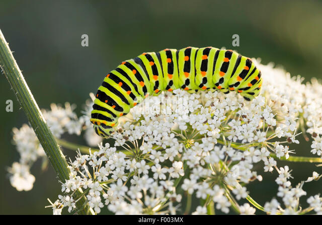 swallowtail (Papilio machaon), caterpillar feeds on Daucus carota, Germany - Stock-Bilder