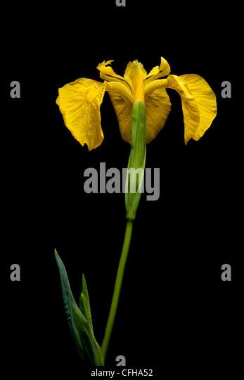 Yellow Flag Iris, Isle of Mull, Scotland. June. - Stock Image