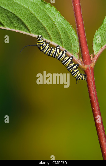 Monarch butterfly 5th instar caterpillar explores leaf in preparation for transformation, Summer, NS, series of - Stock Image