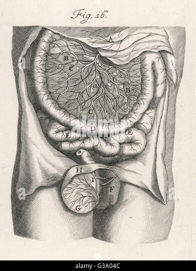 INTESTINES A fine engraving of the gut  and associated vessels        Date: 17th century ? - Stock Image