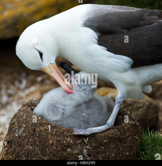 Black-browed Albatross (Thalassarche melanophris) grooming its chick - Stock Image