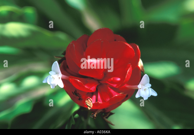 Tropical Flower Red Torch Ginger with white petals - Stock Image