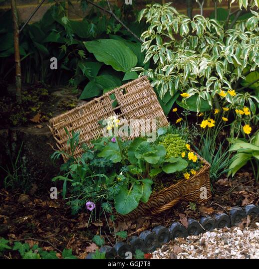 Container - Unusual - Planted with Primula  Geranium  Thyme and Viola- - (Please credit: Photos Horticultural/ Chedworth - Stock Image