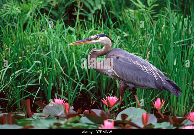 Great Blue Heron in Pink Water Lilies - Stock-Bilder