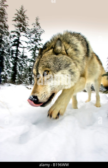 Wolf on the prowl - Stock Image
