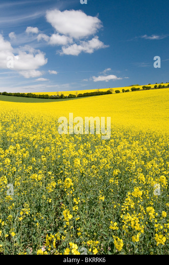 rapeseed oil growing in the South downs national park, Sussex, England - Stock-Bilder