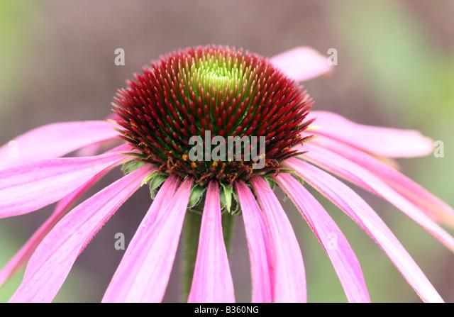 Echinacea or Coneflower - Stock Image