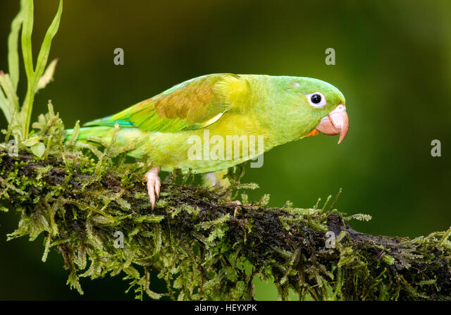 Orange-chinned Parakeet - Boca Tapada, San Carlos, Costa Rica - Stock Image