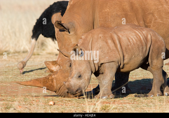 White Rhinoceros with baby Calf - Stock Image