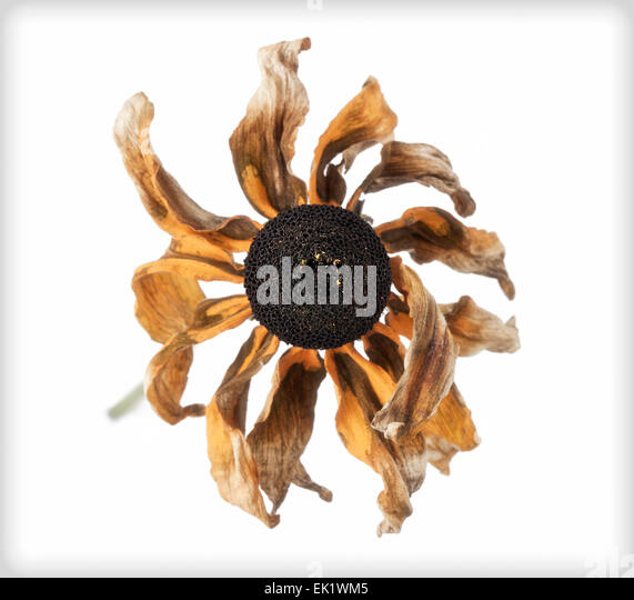 Wilted Rudbeckia, series DB 1 of 3 - Stock Image