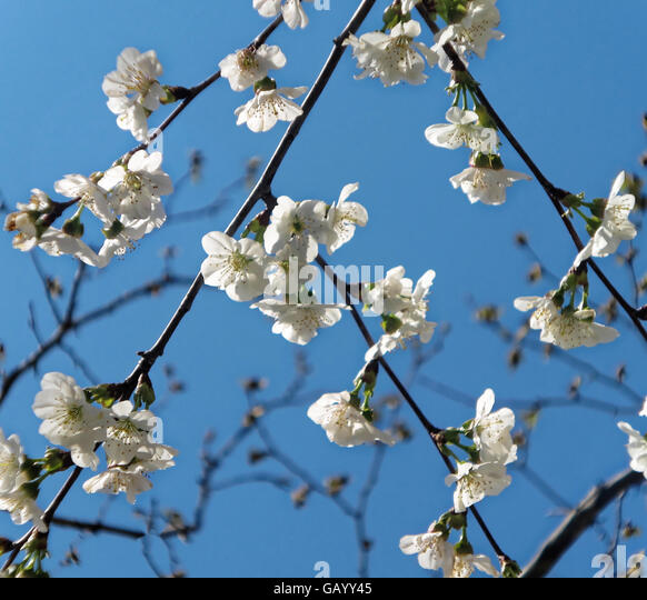 Dainty white blossoms against deep blue sky - Stock Image