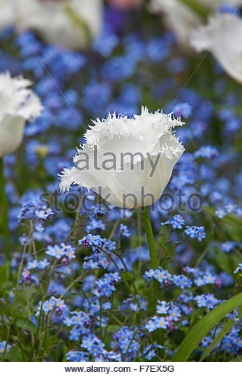 Tulipa 'Honeymoon' - White fringed Tulip with Myosotis - Chenies Manor Spring Garden - Stock Image