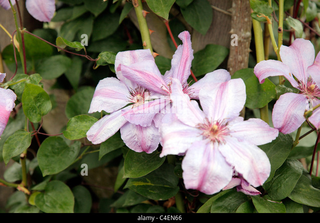 Clematis 'Minister' - Stock Image