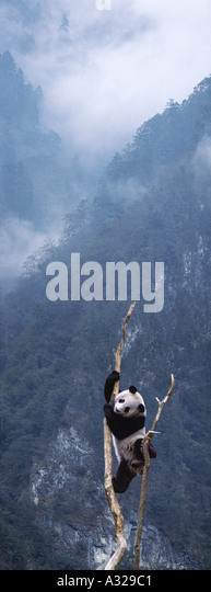 Giant panda climbing a tree Sichuan China - Stock Image