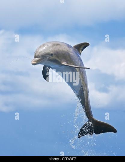 Bottlenose dolphin calf (Tursiops truncatus, leaping - Stock-Bilder