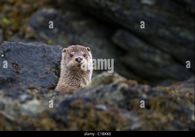 Otter Lutra lutra female Shetland June - Stock Image