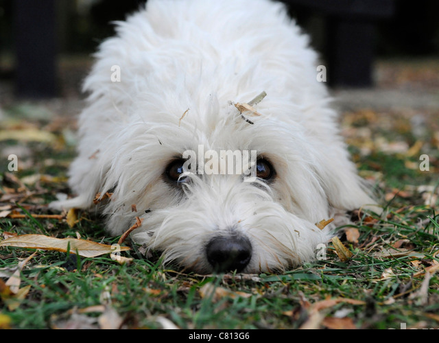 A little white clean bichon frise dog - Stock Image