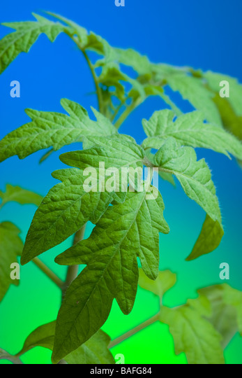 Heirloom tomato seedling - Stock Image