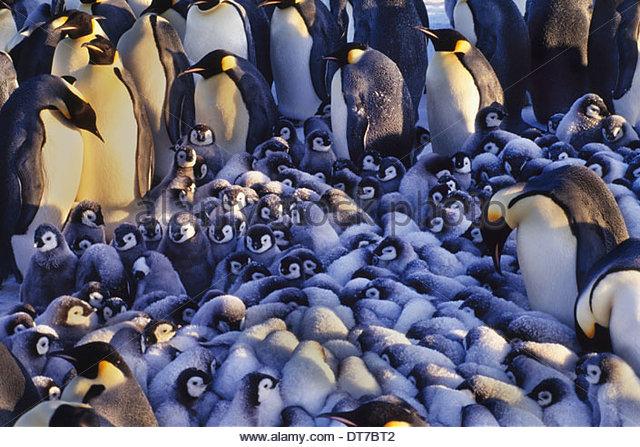 Emperor penguin chicks huddling together Aptenodytes forsteri in the region of the Weddell Sea Antarctica Antarctica - Stock Image