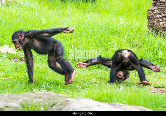 Monkeys Playing Stock Photos & Monkeys Playing Stock ...