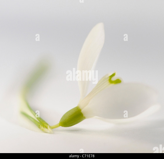 Galanthus nivalis Snowdrop Single white flower against a white background. - Stock Image