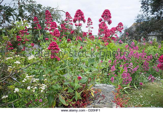 Valeriana officianalis (Cat's Valerian) - Stock Image