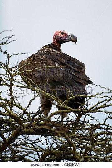 Lappet-faced Vulture, Kenya - Stock Image
