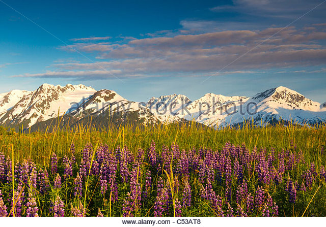 Scenic view of lupine along Turnagain Arm in the evening, Chugach National Forest,  Southcentral Alaska - Stock Image