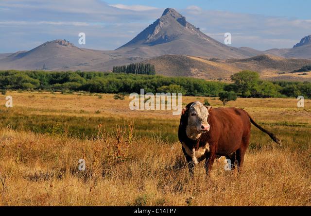 Bull  in Patagonia, Argentina - Stock Image