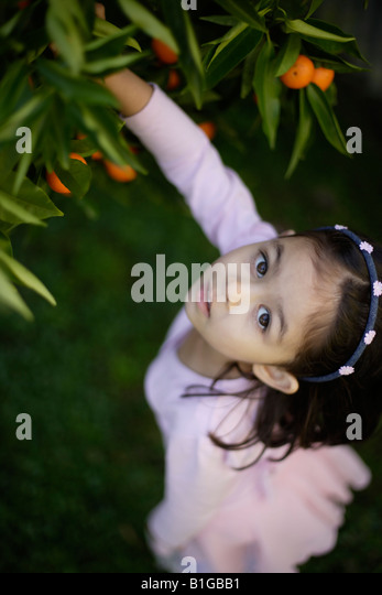 Girl aged four picks oranges from tree in garden - Stock Image