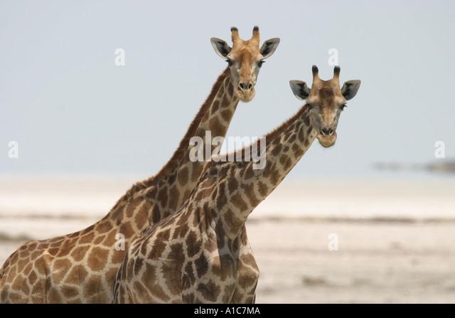 Two Giraffes out on the Etosha Pan, Namibia Africa - Stock Image