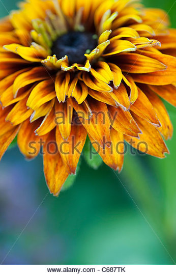 Rudbeckia 'cherokee sunset' flower portrait - Stock Image