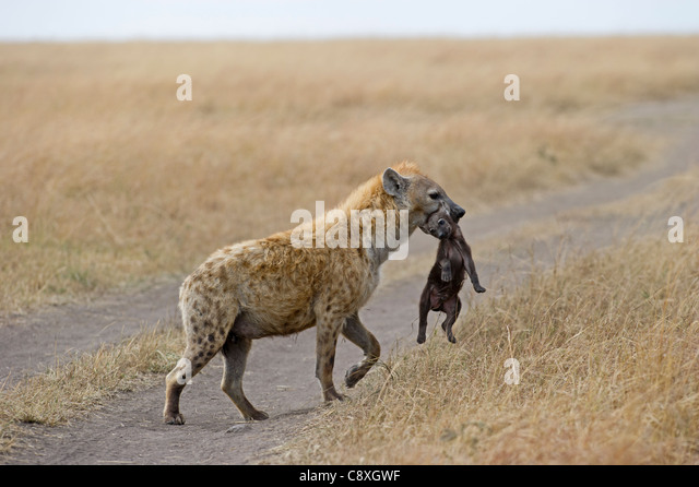Spotted Hyena Crocuta crocuta with young pup Masai Mara Kenya - Stock Image